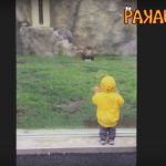 Lion hits glass trying to get little boy